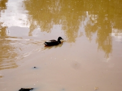tanwater duck